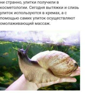 Улитка Ахатина
