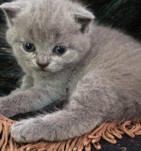 Шотландские котята(бронь)