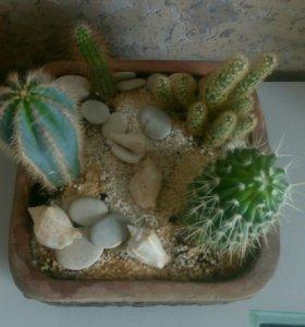 Композиция из кактусов.