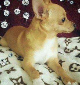 Продам щенка чихуахуа (стандарт)
