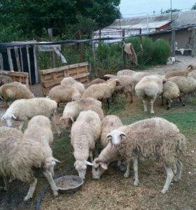 Овцы 55 голов