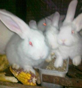 Кролики великаны.