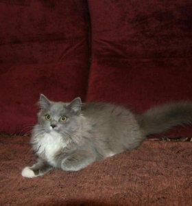 Британские длинношорстые котята