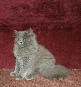 Британский  длинношорстый котик