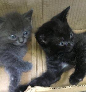 Котики от британской кошки мамы