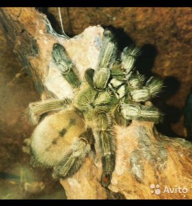 Psalmopoeus cambridgei, паук-птицеед с террариумом