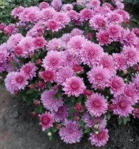 Хризантема садовая в ассортименте