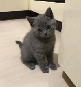 Шотландские котята!)