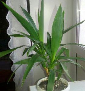 драцена .комнатное растение