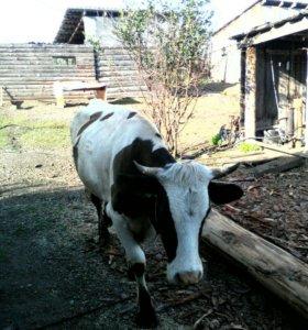 Продам молодую корову, был один отел