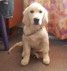 Подрощенный щенок золотистого ретривера (мальчик)