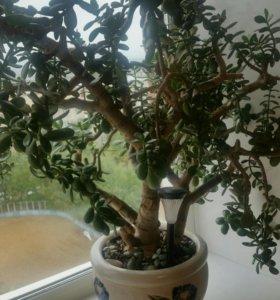 Денежное дерево -Толстянка
