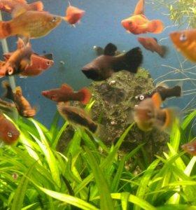 Рыба домашнего разведения