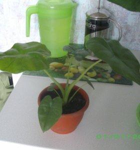 цветок Алоказия (крупнокорневая)
