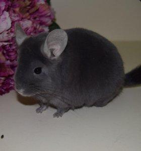 Шиншилла фиолетовый эбони НС (мальчик)