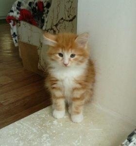 Сибирский котик!