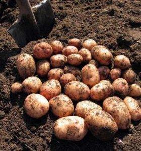 Продам картофель с домашнего участка