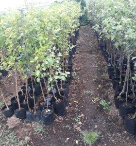 Саженцы :Яблоки грушы сливы вишни черешни и другие