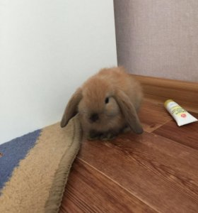 Карликовый вислоухие кролики