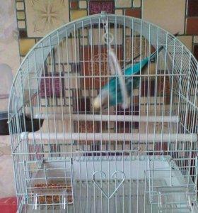 Волнистые попугайчики Гоша