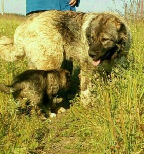 Щенки кавказской овчарки