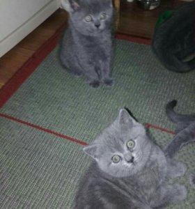 Отдам в добрые руки 2 котят(девочек) отдаю срочно.