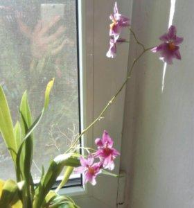 """Орхидея """" Камбрия"""""""
