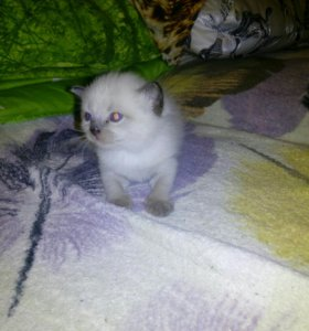 Кошечка соня