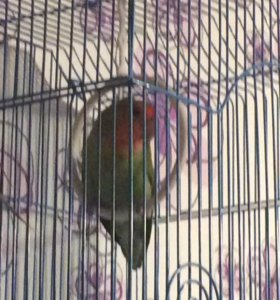 """Попугаи """"Розовощёкие Неразлучники"""""""