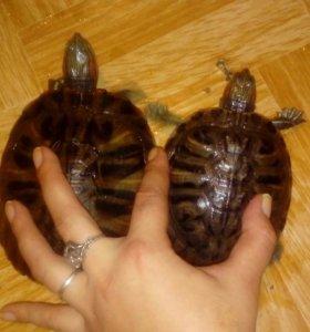 Красноухая морская черепаха