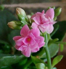 Розовый махровый каланхоэ