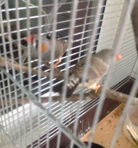 Птица амадины