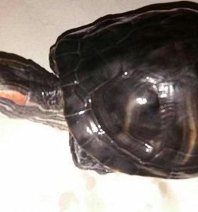Черепаха+аквариум