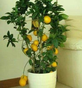 Лимон два верева.