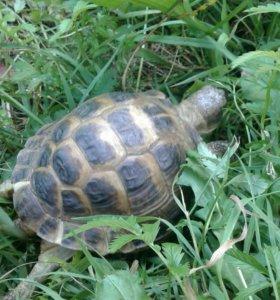 Продам черепаху сухопутная