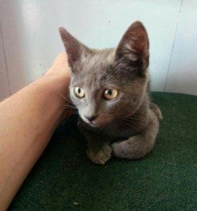 Котёнок Британской породы 2 месяца