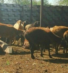 Овцематки 45 голов