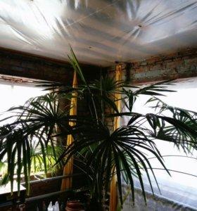 Комнатная пальма трахикарпус форчуна