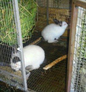 Кролики колифорнийские 400 р за месяц. Привитые.
