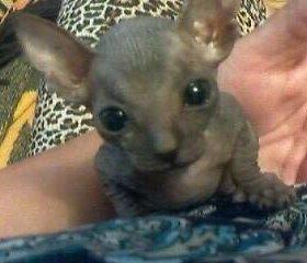 Кошечка -Сфинкс,2 месяца.
