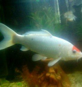 Рыба Красная шапка.