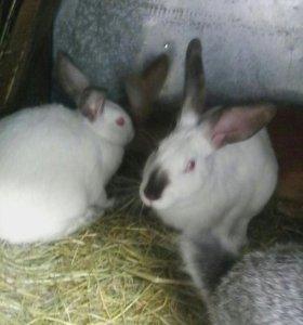 Кролики молодые