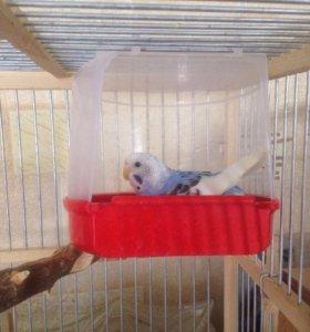 Продам двух попугаев волнистых