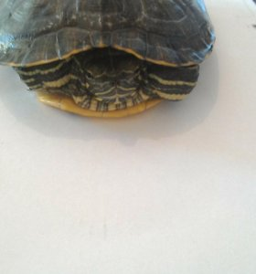 Краснаухая черепаха