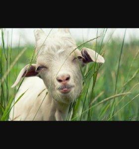 Продаются две козы, одна дойная, цена за две