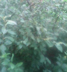 Саженцы деревьев(плодовые)