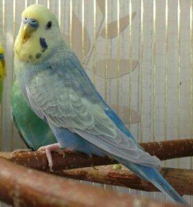 Волнистые попугайчики радужные