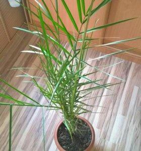 Пальма комнатная из Сочи