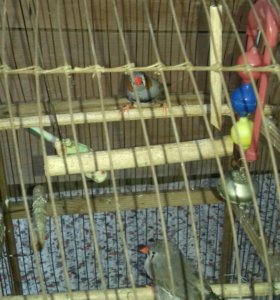 птицы Амадин, мальчик и девочка.