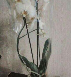 Орхидея фаленопсис 2ств